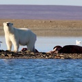 Polar bear with kill / Ours polaire avec proie