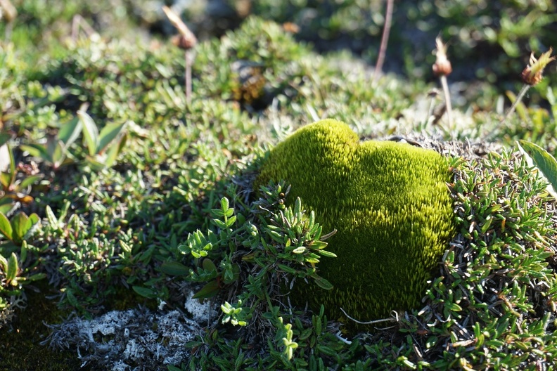 Arctic moss, Cambridge Bay, 2015_credit Heather Dewar.jpg