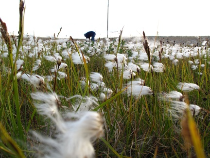 Arctic cotton grass / Herbe à coton arctique