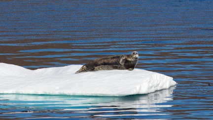 Bearded seal / Phoque barbu